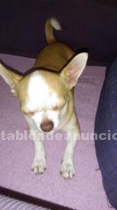 Regalo chihuahua