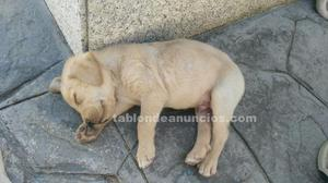 Se vende cachorro labrador retriever puro de dos meses