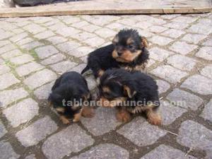 Regalo cachorros yorkies terrier para la adopción