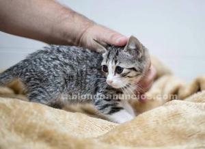 Heido gatita en adopcion madrid toledo
