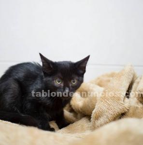Trufa gatita en adopcion madrid toledo