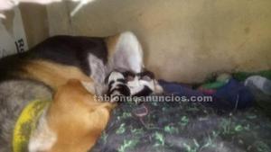Se venden cachorros beagle de raza pura