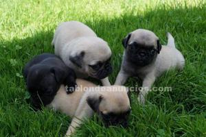 Excelentes cachorros carlino