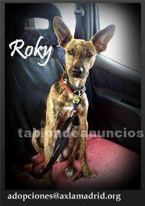 Roky. Perro en adopción