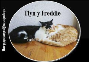 Freddie. Gato en adopción