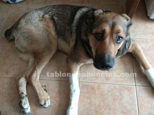 Regalo perro 12 meses vacunado, microchip y cartilla