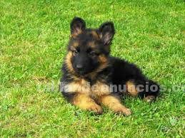 Regalo pastor aleman cachorro 3 meses