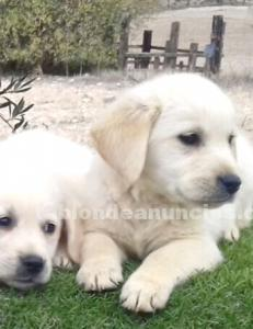 Cachorros golden retriever con pedigree