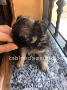 Cachorrito de chihuahua y yorkshire