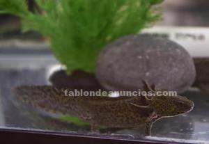 Ajolotes axolot reproductores jóvenes