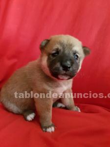Se venden cachorros de shiba inu