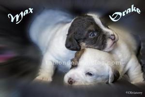 Oferta cachorros de jack russel
