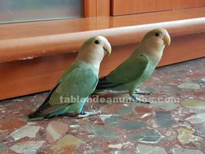 Vendo pareja de agapornis papilleros de julio de