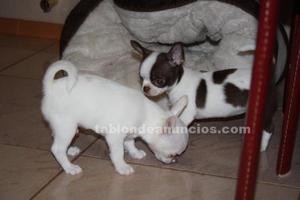 Chihuahua cachorros de pura raza