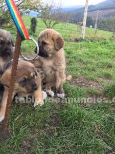 Se venden cachorros de mastin