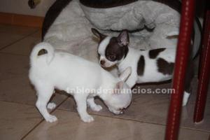 Chihuahuas toys nacionales
