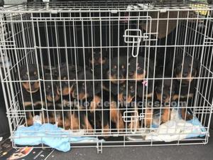 Cachorros de rottweiler.