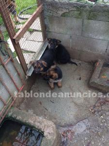 Se vende cachorro pastor alemán