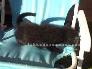 Gatito negro nacido el 7 de noviembre.