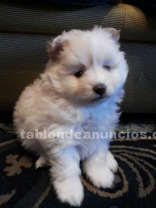 Se vende cachorro lulu de pomerania blanco nacido el 18 de