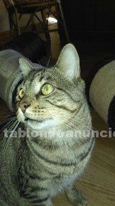 Flow (nacimiento ) gato en adopción madrid