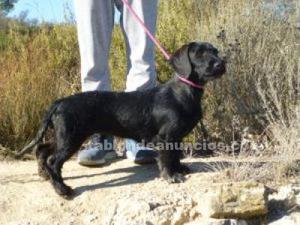 Milla,cachorrita teckel en busca de hogar en adopcion