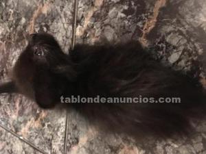 Regalo gatita negra