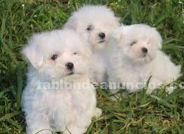 Venta de cachorros de bichon maltes