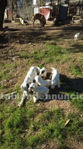 Cachorros setter ingles
