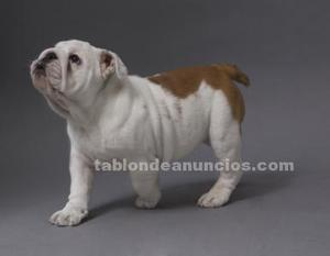 Se vende cachorrita de bulldog inglés