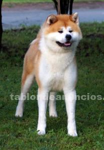 Vendo cachorros de akita inu con pedigri.
