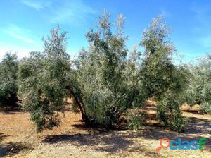 Buena finca de olivar hojiblanco