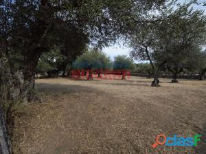 Finca agrícola (olivar) a 500 m del municipio (Cáceres,