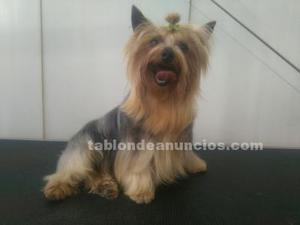 Se vende cachorro macho de yorkshire terrier mini toy