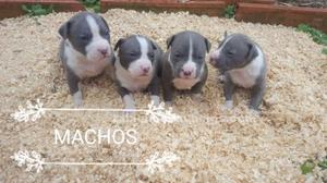 Cachorros american stanford blue
