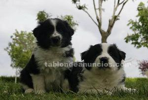 Border collie linea de belleza con pedigree loe