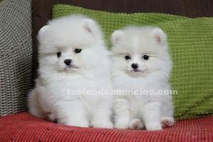 Regalo cachorros mini toy pomeranian