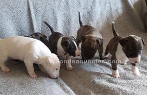 Cachorros bull terrier miniatura