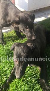 Se buscan adoptantes responsables para cachorros