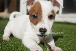 Vendo cachorro jack russell
