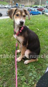 Vendo cachorra de pastor alemán