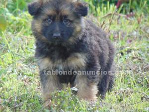 Cachorros pastor alemán puros