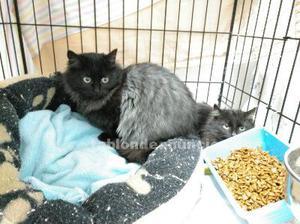 Gatitos negro de pelo largo en adopcion