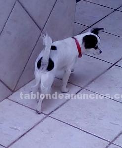 Chihuahua de diez meses