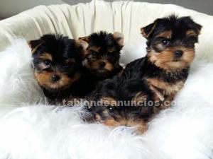 Lindos cachorros de yorkshire mini