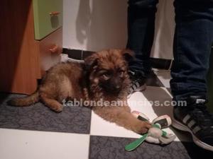 Cachorro pastor alemán con dos meses