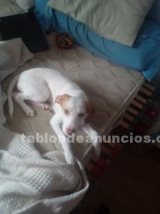 Regalo cachorra de podenco