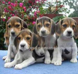 Vendo camada preciosa de beagle