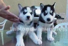 Cachorros machos y hembras lindo alaskan malamute