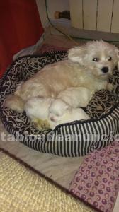 Cachorros bichón maltés